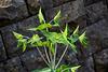 20140424 1734VRAw [D~BI] Venezianische Platterbse (Lathyrus venetus). Botanischer Garten