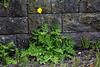 20140424 1732VRAw [D~BI] Mohn, Botanischer Garten
