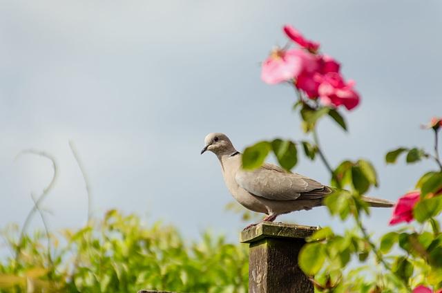 Hopeful Ring Dove