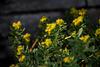 20140424 1731VRAw [D~BI] Rosenwurz (Rhodiola rosea), Botanischer Garten