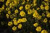 20140424 1727VRAw [D~BI] Kroatisches Steinkraut (Alyssum moellendorfianum), Botanischer Garten