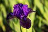 20140424 1725VRAw [D~BI] Lilie, Botanischer Garten
