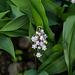 20140424 1719VRAw [D~BI] Maiglöckchen (Convallaria majalis), Botanischer Garten
