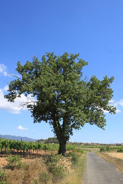 Baum in den Weinfeldern/Tree in the wineyards