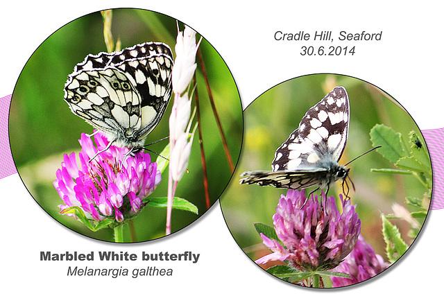 Marbled White - Chyngton - Seaford - 30.6.2014