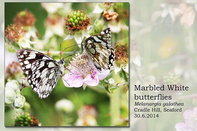 Marbled Whites - Chyngton - Seaford - 30.6.2014