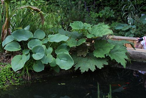 Dissection  d'un jardin d'Eden-Rheum tanguticum et Hosta