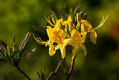 20140424 1696VRAw [D~BI] Rhododendron, Botanischer Garten