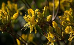 20140424 1695VRAw [D~BI] Rhododendron, Botanischer Garten
