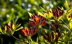 20140424 1694VRAw [D~BI] Rhododendron, Botanischer Garten
