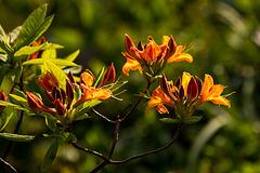 20140424 1693VRAw [D~BI] Rhododendron, Botanischer Garten