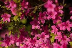 20140424 1692VRAw [D~BI] Rhododendron, Botanischer Garten