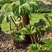 20140424 1690VRAw [D~BI] Mammutblatt, Riesenrhabarber (Gunnera manicata), Botanischer Garten