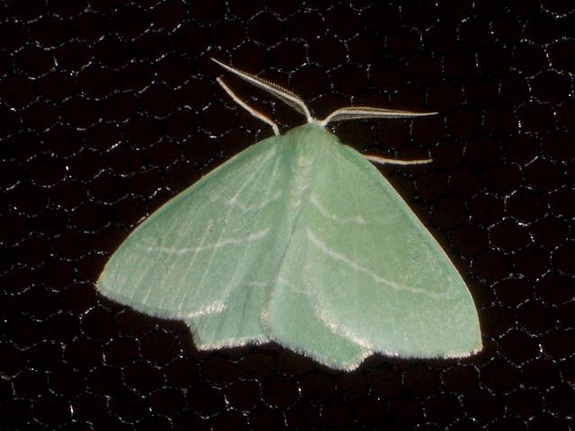 EsMj001 Hemistola chrysoprasaria (Small Emerald)