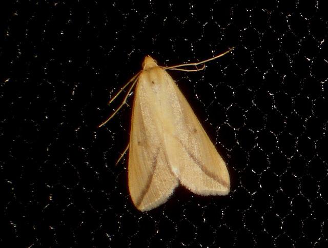 EsMj002 Rhodometria sacraria (Vestal)