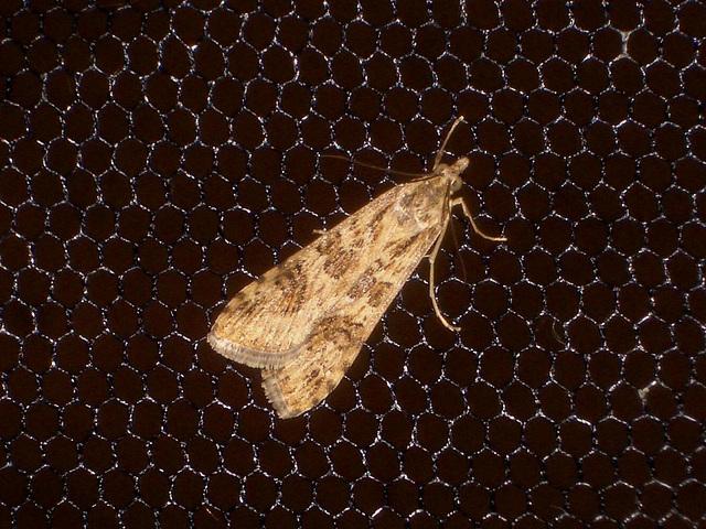 EsMj003 Nomophila noctuella (Rush Veneer)