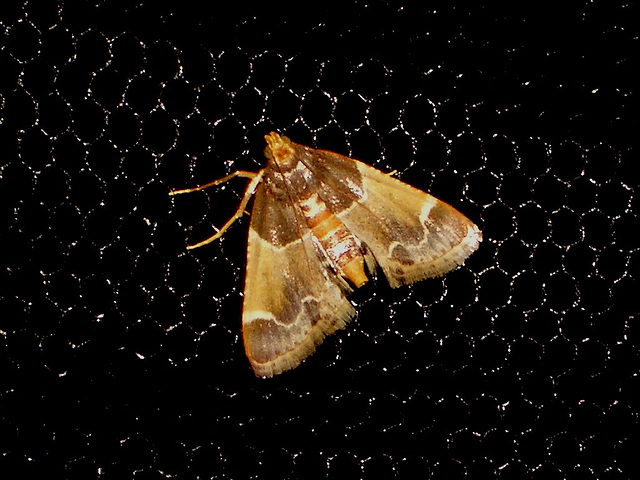 EsMj004 Pyralis farinalis (Meal Moth)