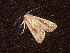 EsMj006 Leucania putrescens (Devonshire Wainscot)