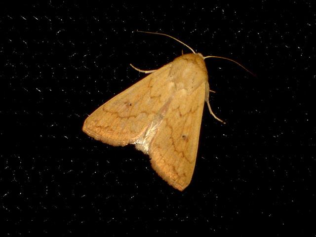 EsMj008 Mythimna vitellina (Delicate)