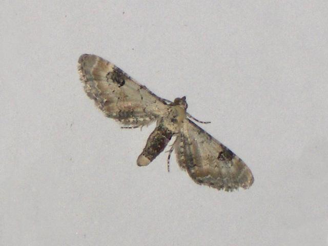 EsMj009 Eupithecia centaureata (Lime-speck Pug)