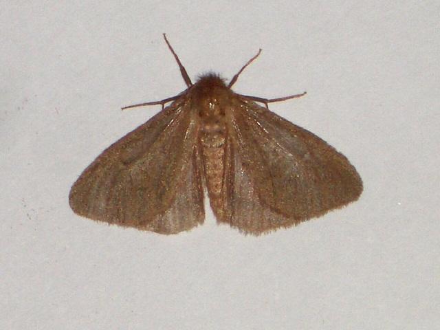 EsMj010 Ocneria rubea  (Male)