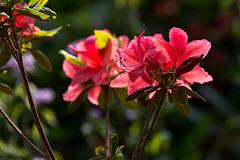 20140424 1686VRAw [D~BI] Rhododendron, Botanischer Garten