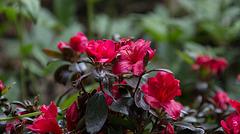 20140424 1685VRAw [D~BI] Rhododendron, Botanischer Garten
