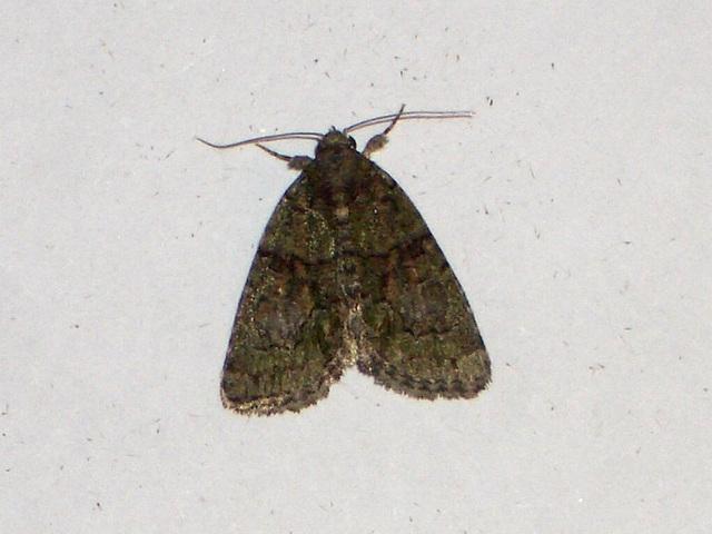 EsMj011 Cryphia pallida