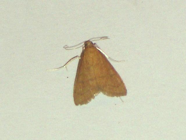 EsMj013 Anania testacealis