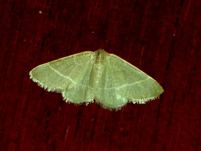 EsMj017 Microloxia herbaria