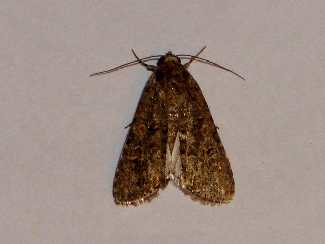EsMj020 Spodoptera exigua (Small Mottled Willow)