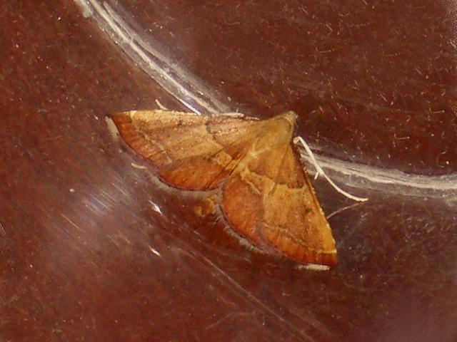 EsMj028 Endotricha flammealis (Rosy Tabby)