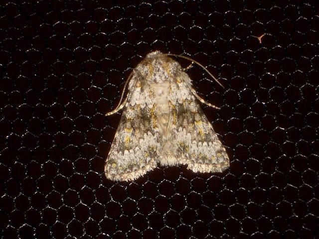 EsMj030 Hecatera dysodea (Small Ranunculus)