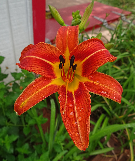 First Orange Day Lily this year