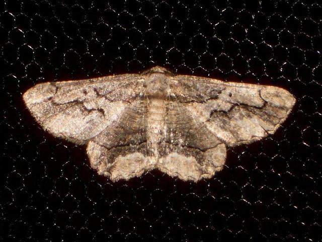 EsMj034 Menophra japygiaria
