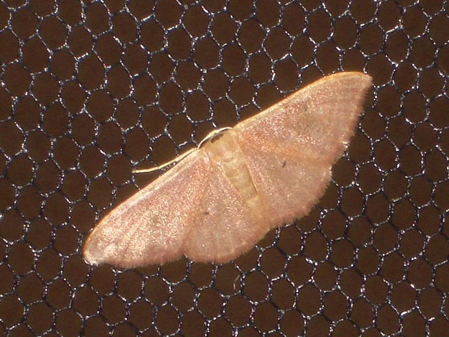 EsMj038 Idaea degeneraria (Portland Ribbon Wave)