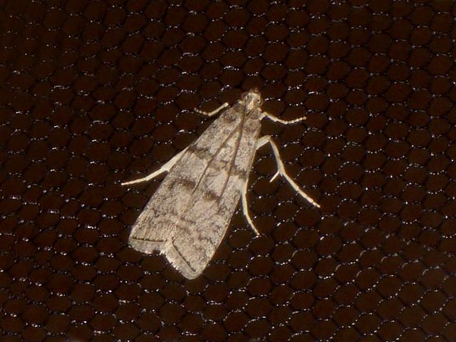 EsMj040 Dioryctria mendacella