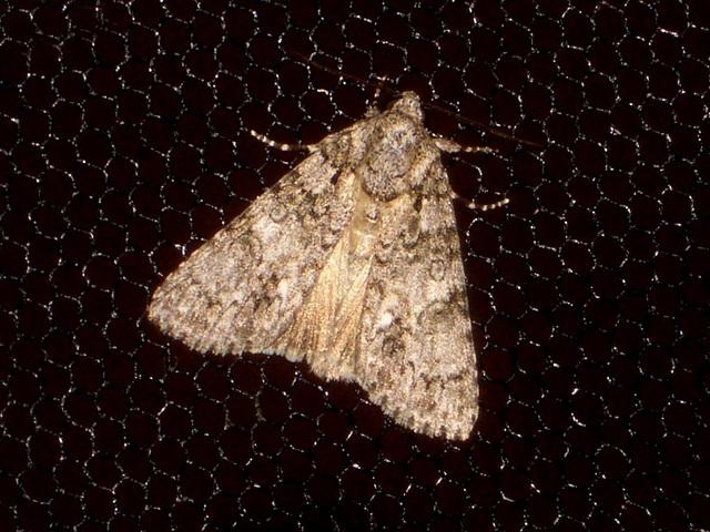 EsMj042 Acronicta rumicis (Knot Grass)