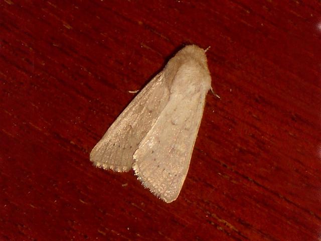 EsMj043 Mythimna ferrago (Clay)