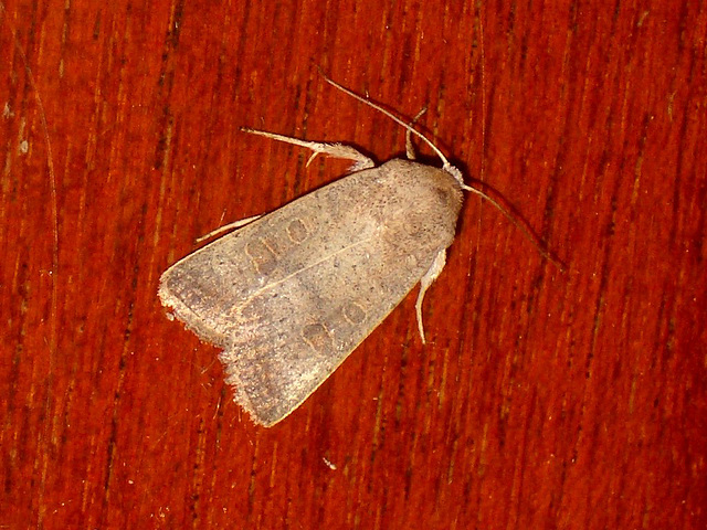 EsMj048 Hoplodrina ambigua (Vine's Rustic)