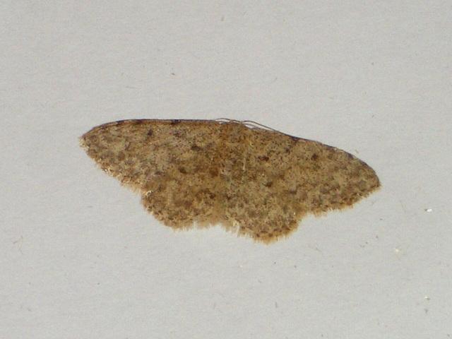 EsMj058 Glossotrophia asellaria