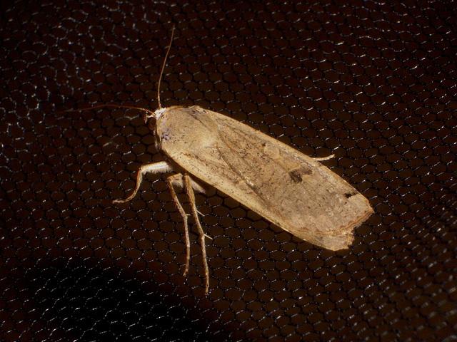 EsMj060 Noctua pronuba (Large Yellow Underwing)