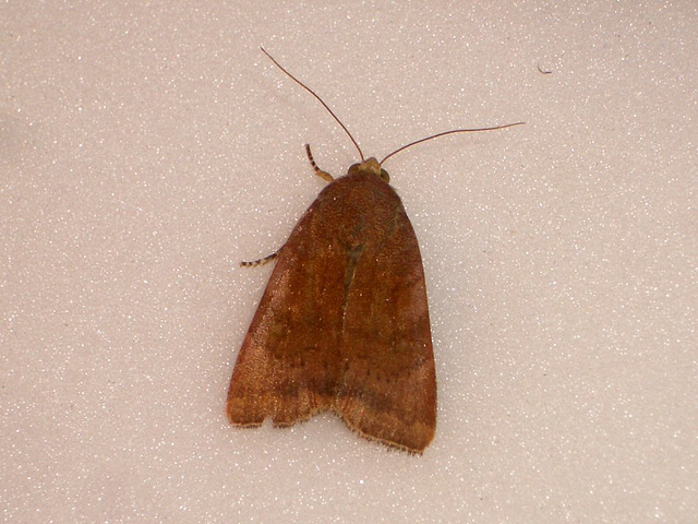 EsMj061 Noctua janthe (Lesser Broad-bordered Yellow Underwing)
