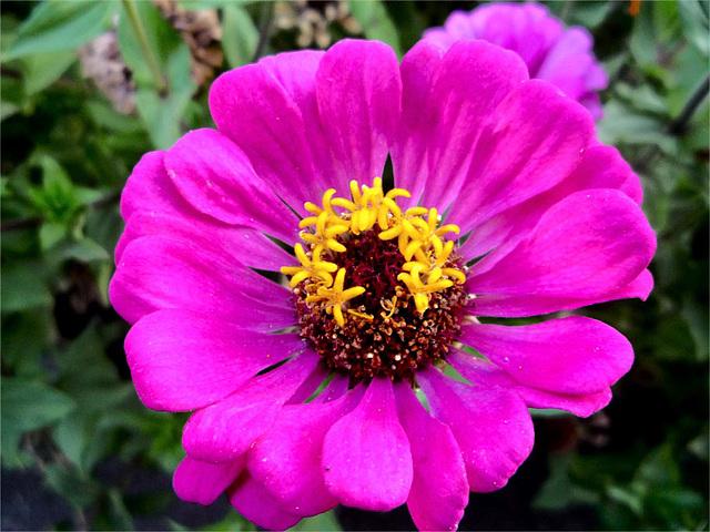 Dalia rosada de Esmeralda de Colina
