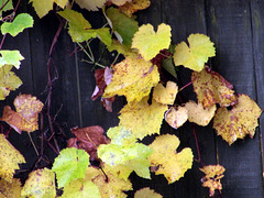 Grape Leaves Dying