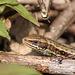 Common Lizard Lacerta Zootoca vivipara