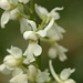 Early Purple Orchid White Form