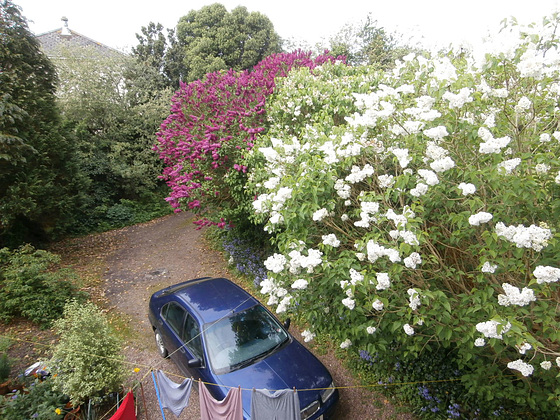 The different coloured lilacs grace my driveway