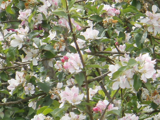 The apple blossom is a bit windswept