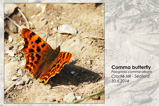 Comma butterfly - Chyngton - Seaford - 30.6.2014